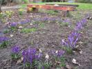 SPRING IS HERE AND SO ARE OUR CROCUSES! -